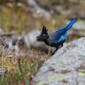 Steller's jay is one of the various bird species found below the tree line.- Mount Evans + Mount Goliath
