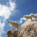 Mountain goats inhabit the area after being introduced in the 1960s.- Mount Evans + Mount Goliath