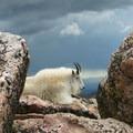 Mountain goats at the summit.- Mount Evans + Mount Goliath