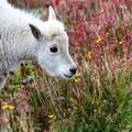 A young mountain goat feeding on the tundra near the summit.- Mount Evans + Mount Goliath