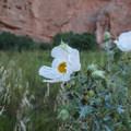Prickly Poppy (Argemone polyanthemos).- Garden of the Gods National Natural Landmark
