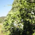Rocky Mountain juniper (Juniperus scopulorum).- Garden of the Gods National Natural Landmark