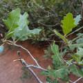 Scrub oak (Quercus gambelii).- Garden of the Gods National Natural Landmark
