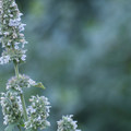 Catnip (Nepeta cataria) at Garden of the Gods.- Garden of the Gods National Natural Landmark
