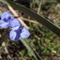 Spiderwort (Tradescantia occidentalis) at Garden of the Gods.- Garden of the Gods National Natural Landmark