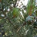 Bristlecone pine (Pinus aristata).- Garden of the Gods National Natural Landmark