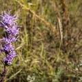 Dotted Gay Feather (Liatris punctata) along the Palmer Trail.- Palmer Trail
