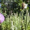 Musk thistle (Carduus nutans).- Palmer Trail