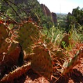 Unidentified cactus (help us identify it by providing feedback).- Palmer Trail