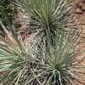 Harriman's yucca (Yucca harrimaniae).- Palmer Trail