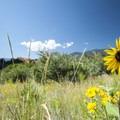 Prairie sunflower (Helianthus petiolaris) along the Palmer Trail, Garden of the Gods.- Palmer Trail