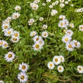 Subalpine daisy (Erigeron peregrinus).- Buckingham Campground