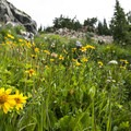 Wildflowers along the Diamond Lake Trail.- Diamond Lake