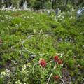Scarlet paintbrush (Castilleja miniata) and Ram's-horn (Pedicularis racemosa).- Diamond Lake