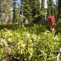 Scarlet paintbrush (Castilleja miniata).- Diamond Lake