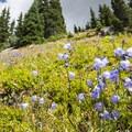 Bluebell (Campanula rotundifolia) along the Arapaho Pass Trail.- Diamond Lake