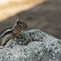 Golden-mantled ground squirrel (Callospermophilus lateralis).- Olive Ridge Campground