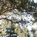 Ponderosa pine (Pinus ponderosa).- Olive Ridge Campground