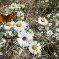 Many-flowered aster (Symphyotrichum ericoides) with a Hoary comma (Polygonia gracilis) butterfly.- Lily Lake Loop Hike