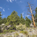 High desert landscape with sage and Rocky Mountain juniper (Juniperus scopulorum).- Lily Mountain Hike