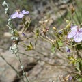 Fremont's geranium (Geranium caespitosum var. fremontii).- Lily Mountain Hike