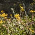 Unidentified buckwheat species (help us identify it by providing feedback).- Lily Mountain Hike