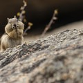Golden-mantled ground squirrel (Callospermophilus lateralis).- Gem Lake Hike via Lumpy Ridge Trailhead