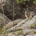 Unidentified hare species (help us identify it by providing feedback).- Gem Lake Hike via Lumpy Ridge Trailhead