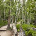 Quaking aspen (Populus tremuloidus) along the Gem Lake Trail.- Gem Lake Hike via Lumpy Ridge Trailhead