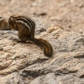 Yellow-pine chipmunk (Neotamias amoenus).- Nymph, Dream + Emerald Lakes Hike