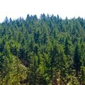 Douglas fir reigns supreme in the Willamette Valley.- Peavy Arboretum