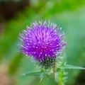 A blooming thistle (Silybum Marianum).- Peavy Arboretum
