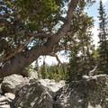 Bristlecone pine (Balfourianae) at Haiyaha Lake.- Lake Haiyaha Hike