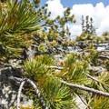Bristlecone pine (Balfourianae) at Lake Haiyaha.- Lake Haiyaha Hike