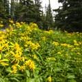 Yellow aster en route to Lake Haiyaha.- Lake Haiyaha Hike