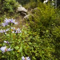 Aster along the short trail to Fall River at Aspenglen Campground.- Aspenglen Campground