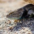 Desert spiny lizard.- Cap Rock Nature Trail