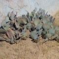 Beaver tail cactus.- Cap Rock Nature Trail