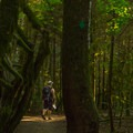 Lush green old-growth forest.- Shannon Falls Provincial Park