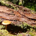 Look for mushrooms growing from the old trees.- Crabtree Valley Hike