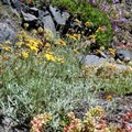 Pretty wildflowers and succulents cluster along the rocky bits of the trail.- Crabtree Valley Hike