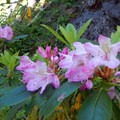 Catch the blooming rhododendrons in spring and early summer.- Crabtree Valley Hike