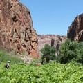 The trail to Beaver Falls leads through fields of wild grapes.- Mooney + Beaver Falls Hike from Supai