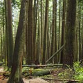 Twisting through the tall trees.- Mount Fromme Trails: Expresso + Baden Powell