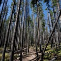 Lodgepole pines. - Buffalo Cabin + Buffalo Mountain Hike