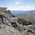 Mountain goats on the summit of Buffalo Mountain.- Buffalo Cabin + Buffalo Mountain Hike