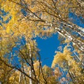 Aspens in the fall sunlight.- Bakers Tank Mountain Bike Ride