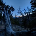 Sunset behind very old trees.- Saint Mary's Glacier + Saint Mary's Lake