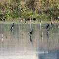 Double-crested Cormorants (Phalacrocorax auritus) at Waldon Ponds' Cottonwood Marsh.- Walden Ponds Wildlife Habitat