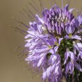 Rocky Mountain bee plant (Cleome serrulata).- Walden Ponds Wildlife Habitat